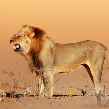 """There is No Such Thing as a """"Bad"""" Lion Unless You Put It in the Desert"""