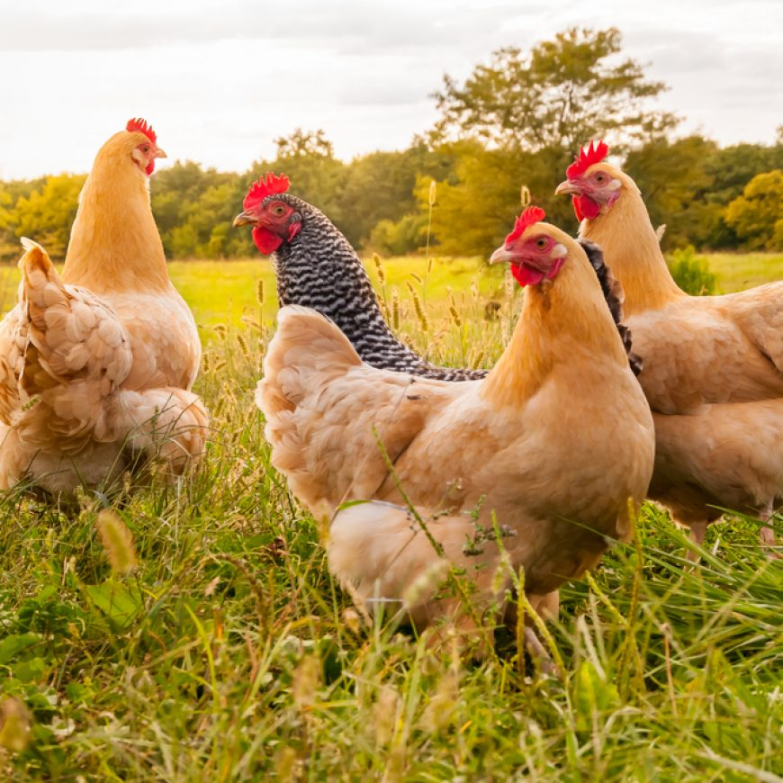 Technology Sales and CX Mirror Consumer Behavior and Good Chicken Farming